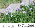 ハナショウブの花 54711209