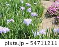 ハナショウブの花 54711211