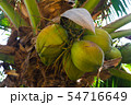 Coconut tree with fruits 54716649