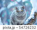 Cute British Shorthair cat sits on a tree 54726232