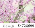梅の花(紅梅) 54728699