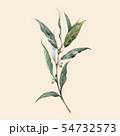 Watercolor vector laurel bay leaf 54732573