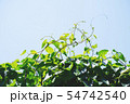 Green leaves of a climbing plant on fence. 54742540