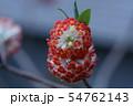 赤花三椏 アカバナミツマタ 花言葉は「永遠の愛」 54762143