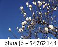 白木蓮 花言葉は「壮麗」 54762144