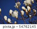 白木蓮 花言葉は「壮麗」 54762145