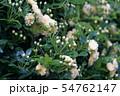 木香薔薇 モッコウバラ  花言葉は「あなたにふわさしい人」 54762147