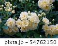 木香薔薇 モッコウバラ  花言葉は「あなたにふわさしい人」 54762150