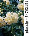 木香薔薇 モッコウバラ  花言葉は「あなたにふわさしい人」 54762151
