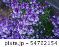 姫金魚草 リナリア 花言葉は「この恋に気づいて」 54762154
