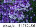 姫金魚草 リナリア 花言葉は「この恋に気づいて」 54762156