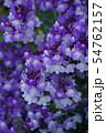 姫金魚草 リナリア 花言葉は「この恋に気づいて」 54762157