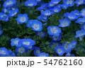 瑠璃唐草 ネモフィラ 花言葉は「可憐」 54762160