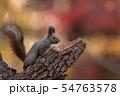 秋のエゾリス 54763578