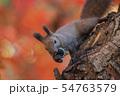 秋のエゾリス 54763579