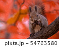 秋のエゾリス 54763580