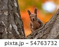 秋のエゾリス 54763732