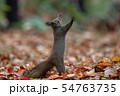 秋のエゾリス 54763735