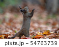 秋のエゾリス 54763739