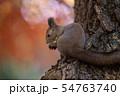 秋のエゾリス 54763740