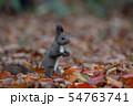 秋のエゾリス 54763741