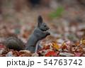 秋のエゾリス 54763742