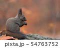 秋のエゾリス 54763752