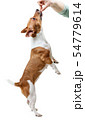 Jack Russell Terrier standing on its hind legs. 54779614