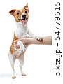Human hand holds Jack Russell Terrier dog. 54779615