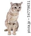Oriental tabby-point male cat sitting. 54779631