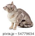 Oriental tabby-point male cat sitting. 54779634