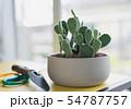Opuntia or Bunny ears cactus in a gray ceramic 54787757