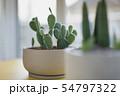 Opuntia or Bunny ears cactus 54797322