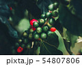 Coffee beans ripening, fresh coffee,red berry 54807806