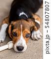 dog ripping dessert apart Beagle dog purebred 54807807