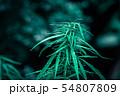cannabis on a Black background 54807809