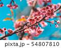 Cherry Blossom and Sakura wallpaper 54807810