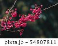 Cherry Blossom and Sakura wallpaper 54807811
