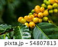 Arabica coffee beans color yellow CatiMor ripening 54807813