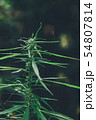 cannabis on a Black background 54807814