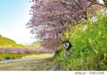 春の桜と菜の花の河辺で散歩する黒柴 54812106