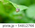 ニジュウホシテントウ 54812766