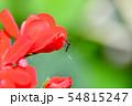 ヒトスジシマカ 54815247