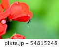 ヒトスジシマカ 54815248