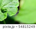 ヒトスジシマカ 54815249