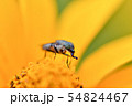 ツマグロキンバエ 54824467
