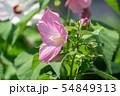 mugunghwa hibiscus syriacus 54849313