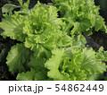 市民農園 白菜の栽培 成長期 54862449