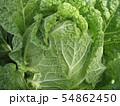市民農園 白菜の栽培 葉が巻いてくる 54862450