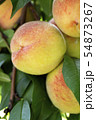 Fresh peach tree 54873267
